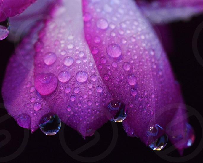Raindrop on a flower petal photo