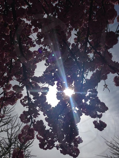 Sun through the cherry blossoms photo