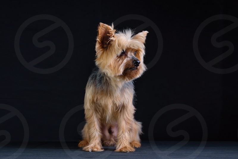 Yorkshire Terrier Studio Photo Session Dark background low key photos photo