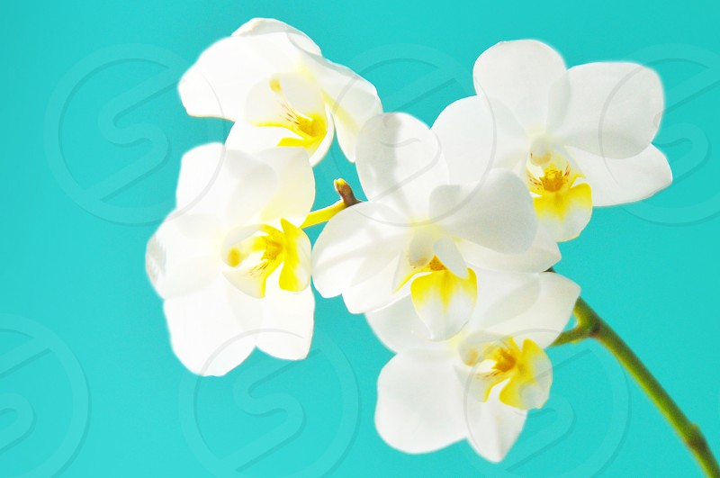 orchid turquoise white orchids photo