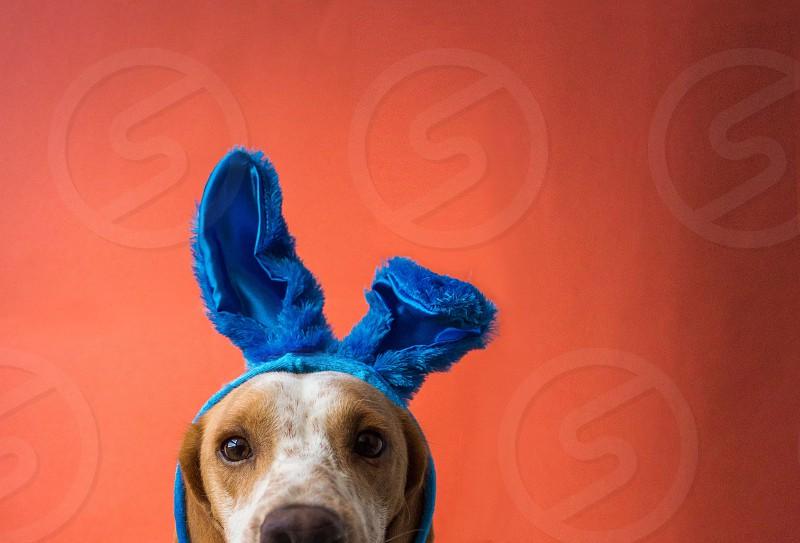 Dog wearing bunny ears photo