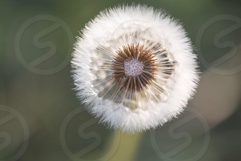 Dandelion plant weed black and white macro nature photo