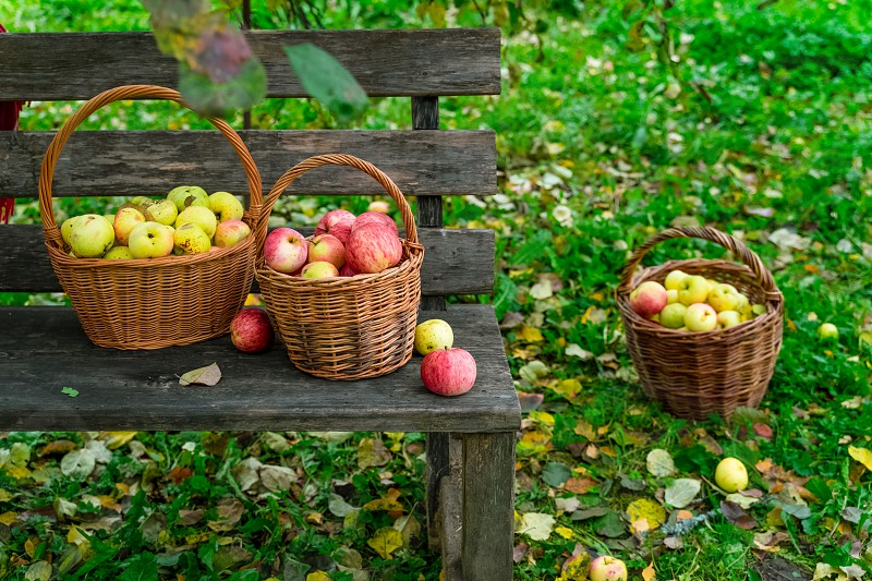 Harvested apples in wicker baskets on wooden bench in a garden  photo