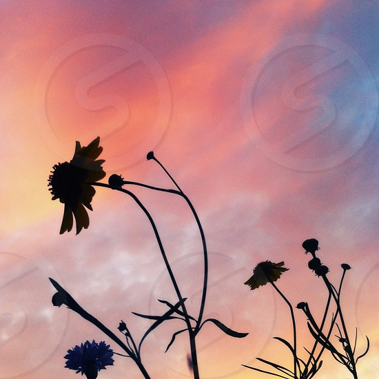 sunset flower silhouette  photo