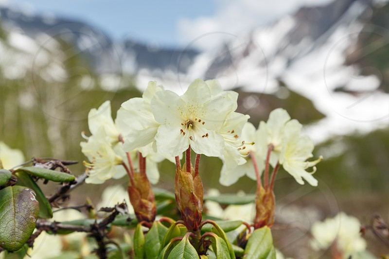 Wildlife Kamchatka Peninsula: beautiful flowering Rhododendron Aureum on a background of mountains in sunny weather. Kamchatka Russia Far East Eurasia. photo
