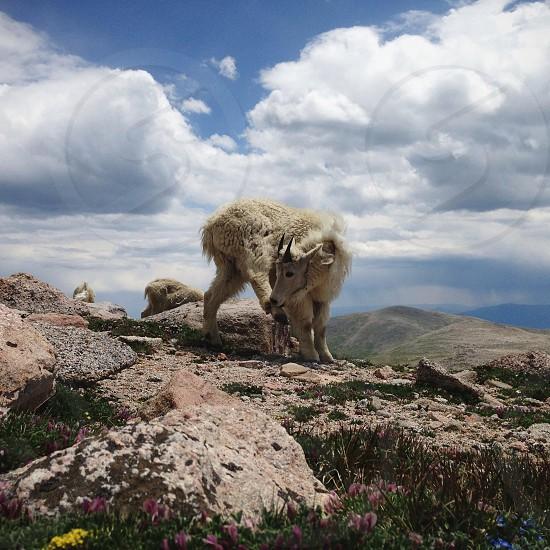 white sheep photo