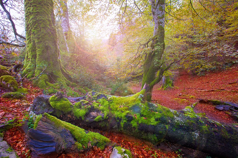 Autumn Selva de Irati fall beech jungle in Navarra Pyrenees of Spain photo