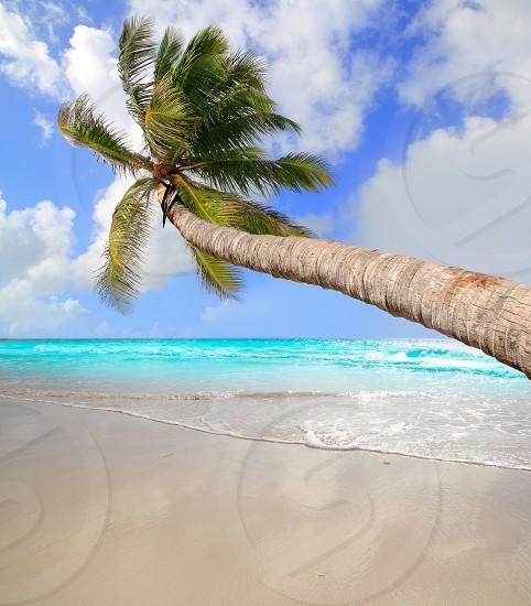 Palm tree in tropical perfect beach at Caribbean sea photo
