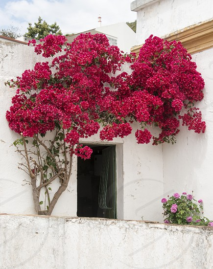 bougenville in portugal on white wall from house photo