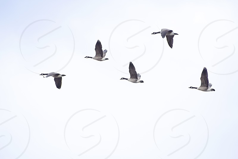Flock of Canada geese migrating. photo