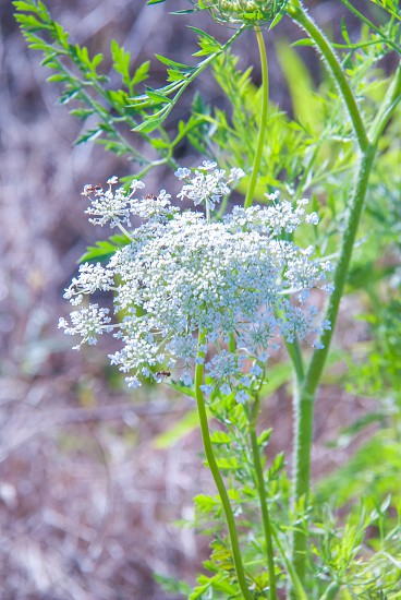 flower Queen Anne's Lace bloom white photo
