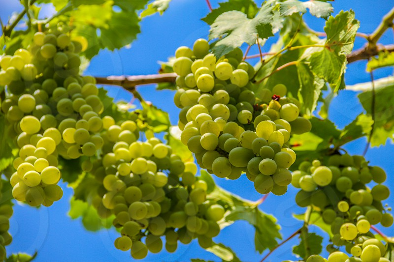 green grapes on brown tree branch photo