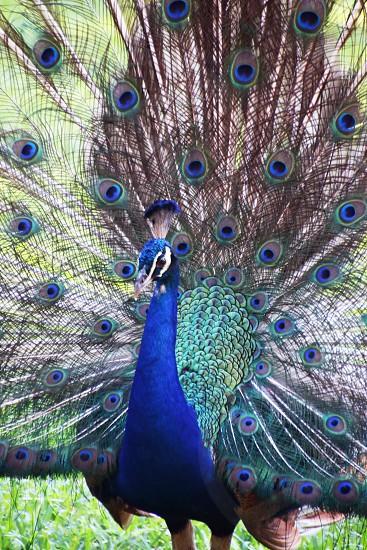 Peacock Peafowl photo