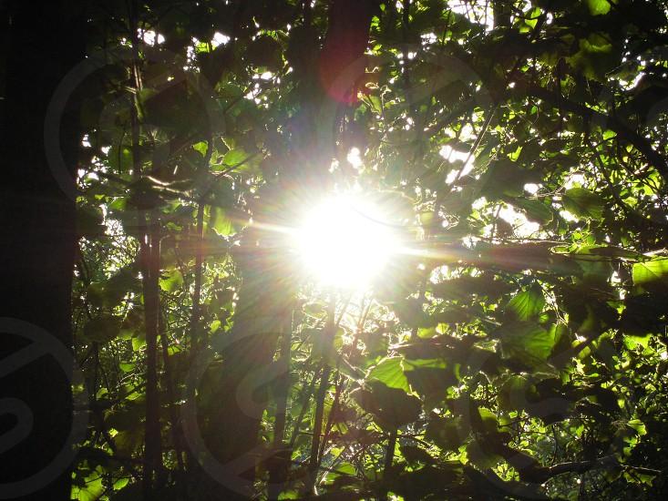Sunlight through leaves photo
