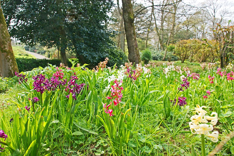 UNITED KINGDOM. Southport. Hesketh Park in the seaside resort of Southport. These hyacinths are growing in the park's sensory garden photo