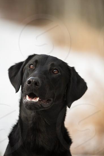 black labradorfriendcompanion loyalmans best frienddog photo