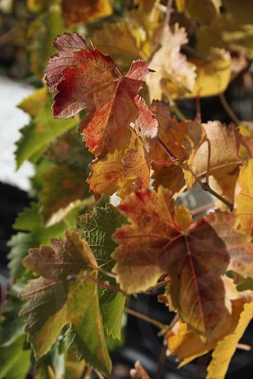 grapes grape vine grape leaf grape harvest harvest autumn red green gold yellow. photo