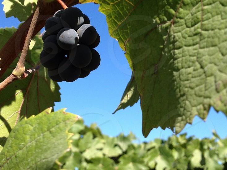 Napa winery grapes photo