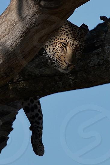 Lazy leopard in the Serengeti photo