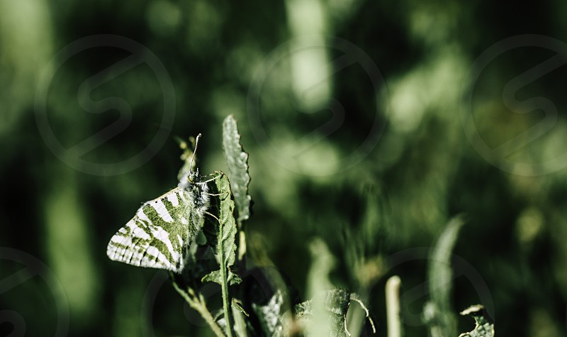 The butterfly with green and white wings is well camouflaged in the green leaf green background photo