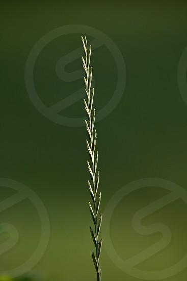 Single stalk of grass photo