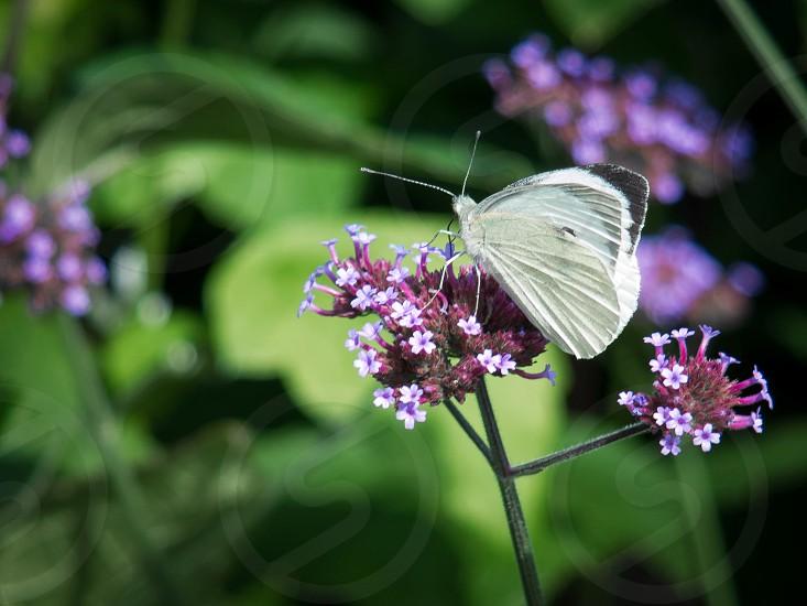 Small White (Pieris rapae) Butterfly photo