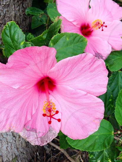 'Hawaiian Flowers'  photo