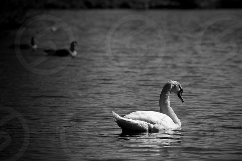 black white photo white swan on lake photo