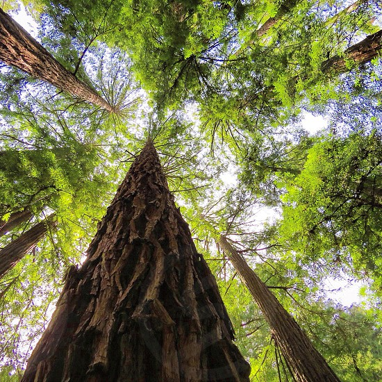 Nature trees texture looking to the sky a Trees view shot at Muir Woods San Francisco Ca photo