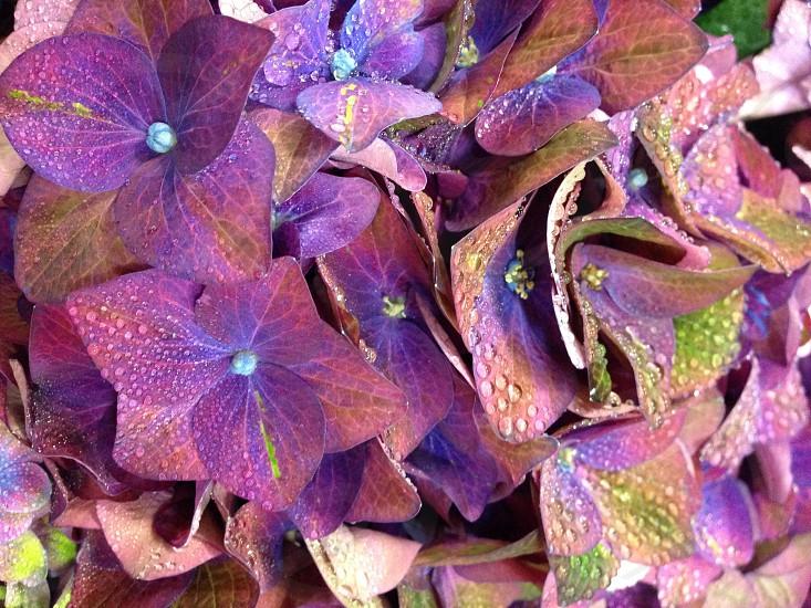 Macro hydrangea purple mauve green NYC flower market photo