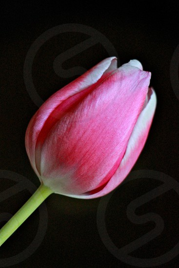pink tulip in macro shot photo