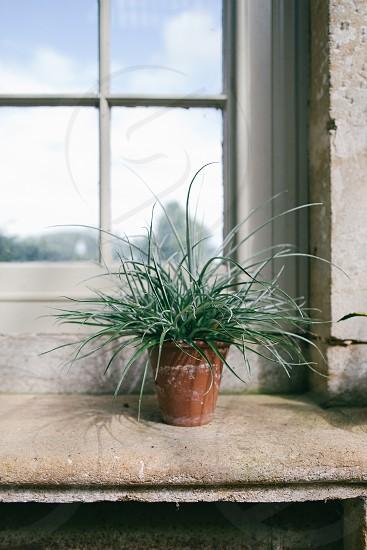 Spider Plant photo
