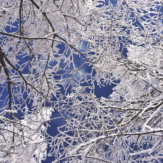 snow covered tree branches photo