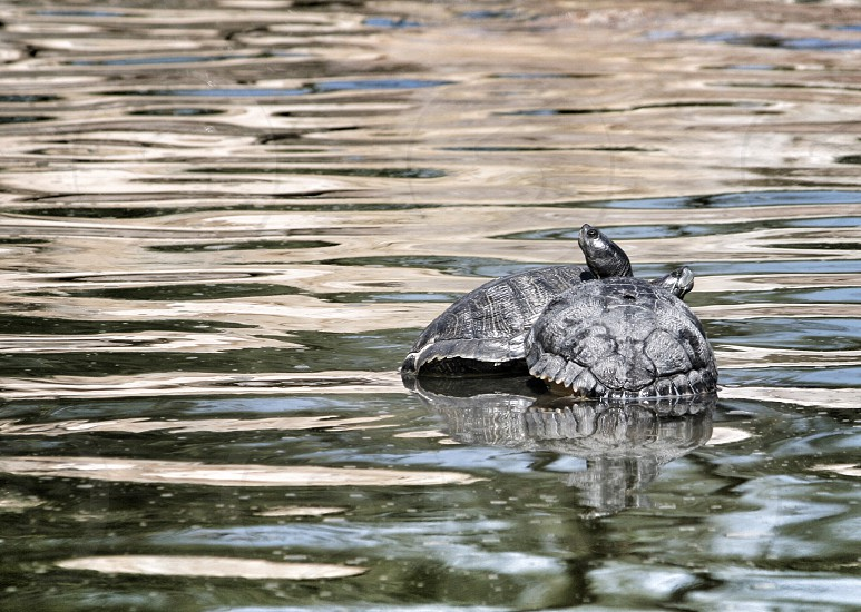 brown turtle photo