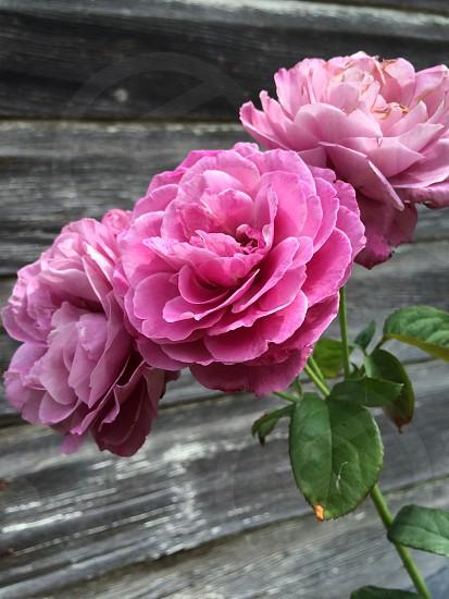 pink cabbage rose photo
