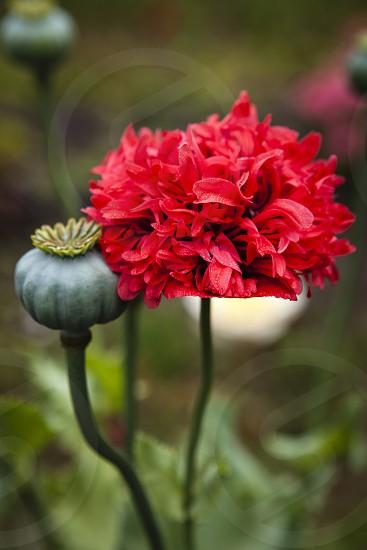 seed pod poppy red green flower garden fresh summer photo