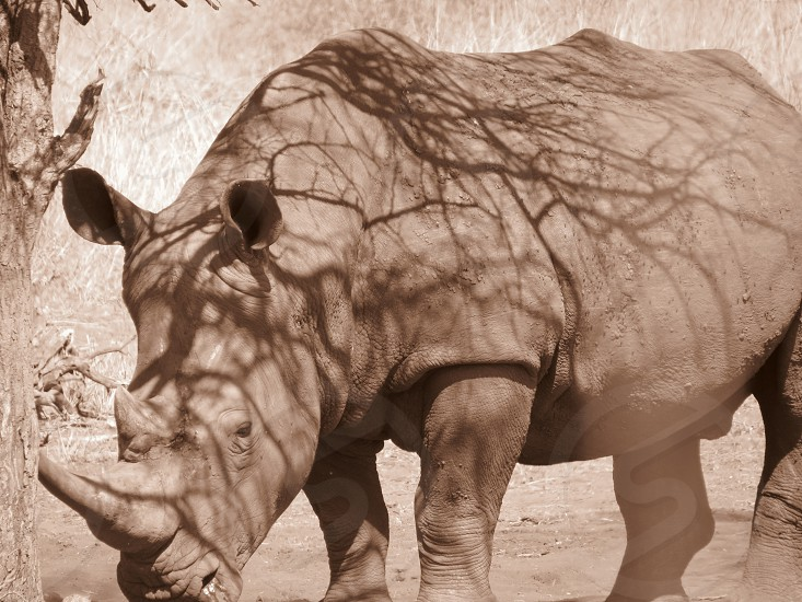 Sepia      Rhino 2 photo