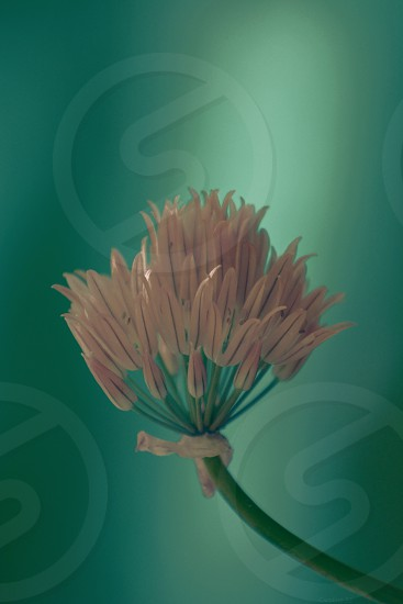 Chive's Edible Bloom - onion chive photo