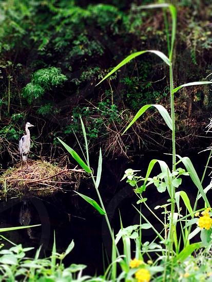 Heron in marshland FL  photo