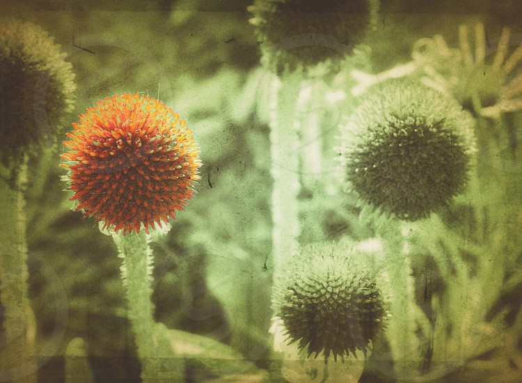 Echinacea Nature grunge color farming photo