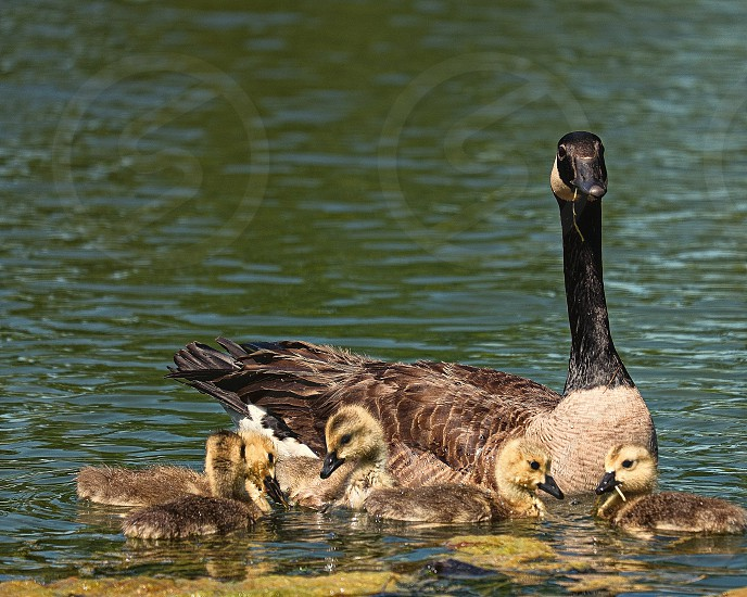 Canada Goose with goslings photo