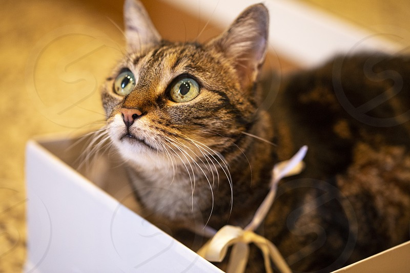cute cat with golden ribbon in collar rests inside a white box photo