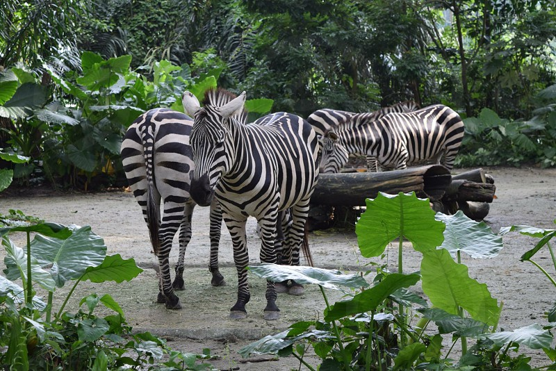 Zebra zoo animals animal black and white black white colors color photo