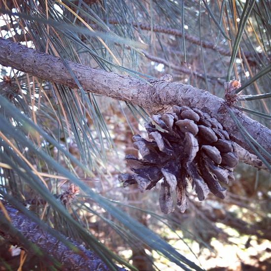 Pine cone nature.  photo