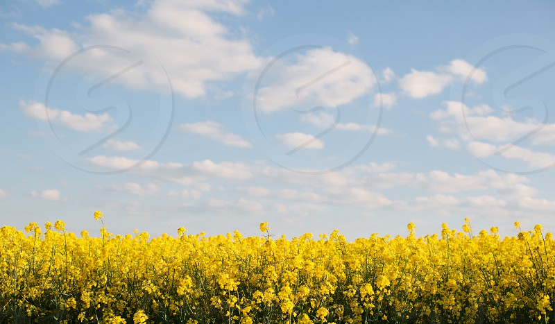An oilseed rape field in England UK in late spring/early summer. photo
