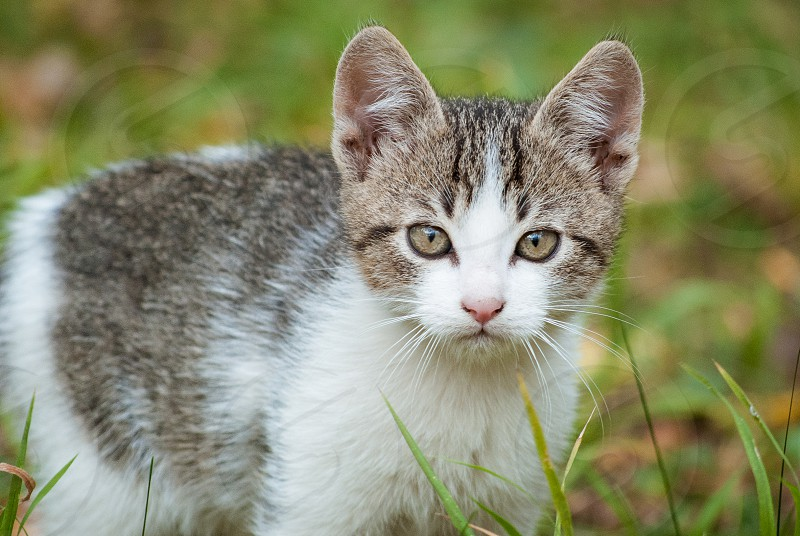 A close-up of a European Shorthair  kitten with  autumn foliage in the background. photo