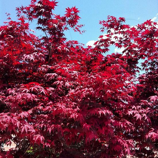 red leaf tree photo taken during daytime photo