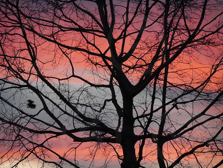 Close up tree silhouette with pink sunset.  photo