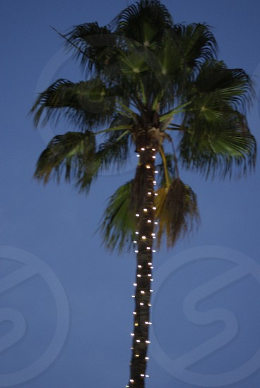 CA palm  photo