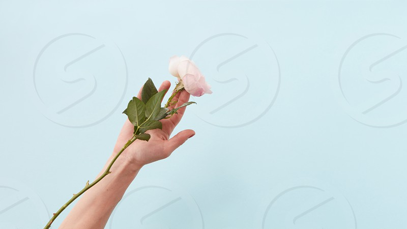 Woman's hand holding white rose over blue background. photo